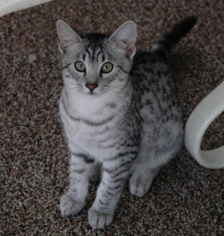 Amtal Is A Black Silver Spotted 4 1 2 Month Old Male Egyptian Mau And He Won 6 Winner Rosettes Out Of 64 Kittens Including 2nd Best Ab Kitten
